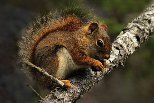 Red squirrel Peggy Yaeger