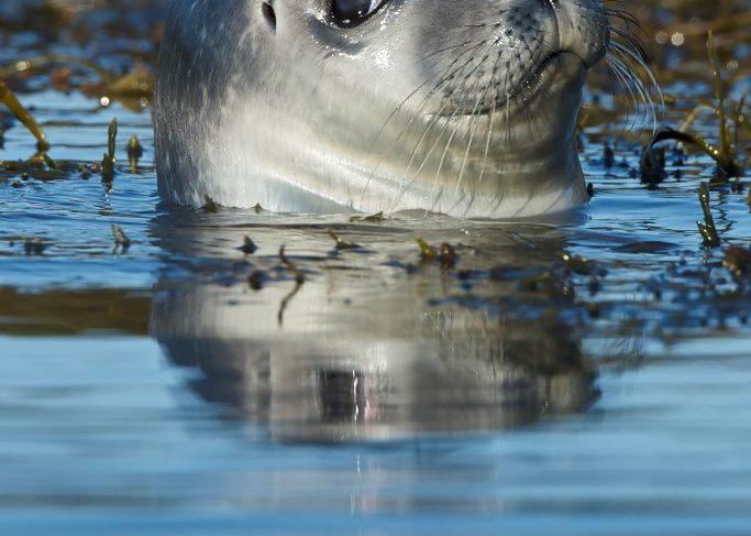 baby-seal-gerard-monteux