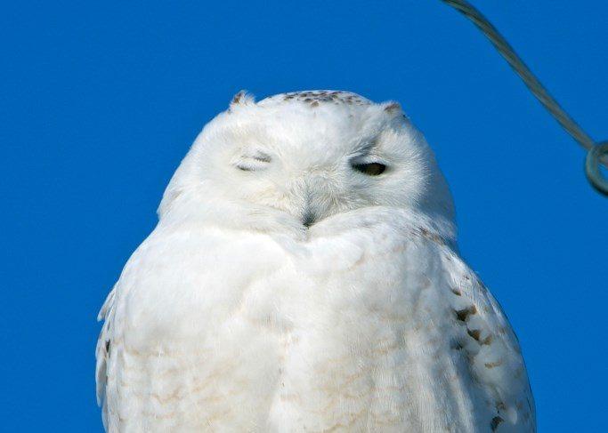 snowy-owl-gerard-monteux