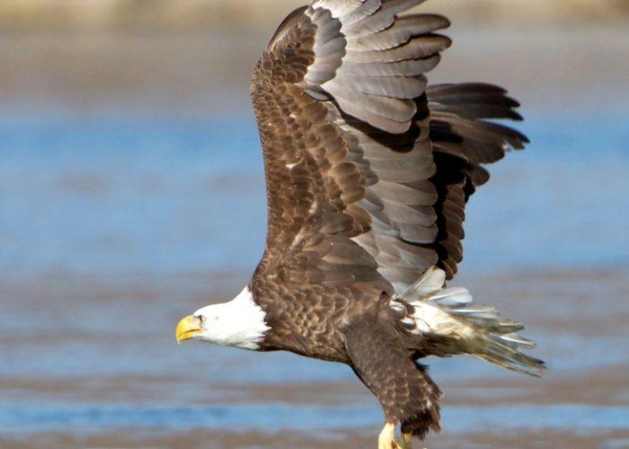 bald-eagle-gerard-monteux