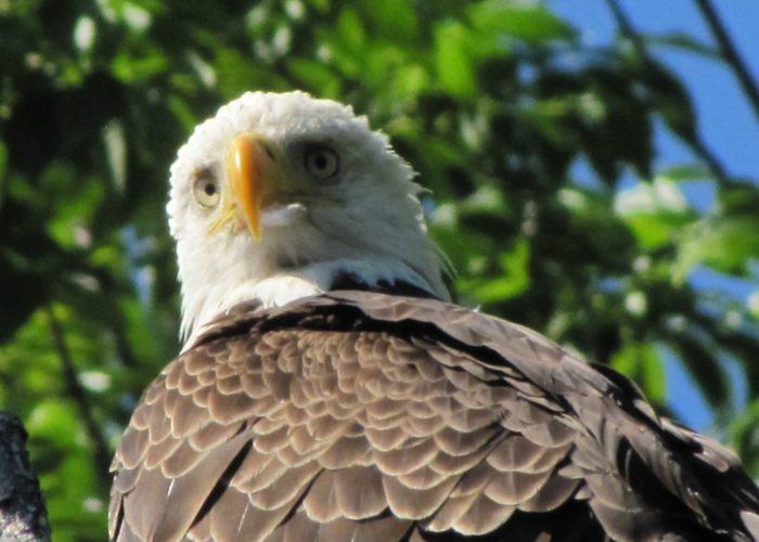 Bald Eagle in Sangerville