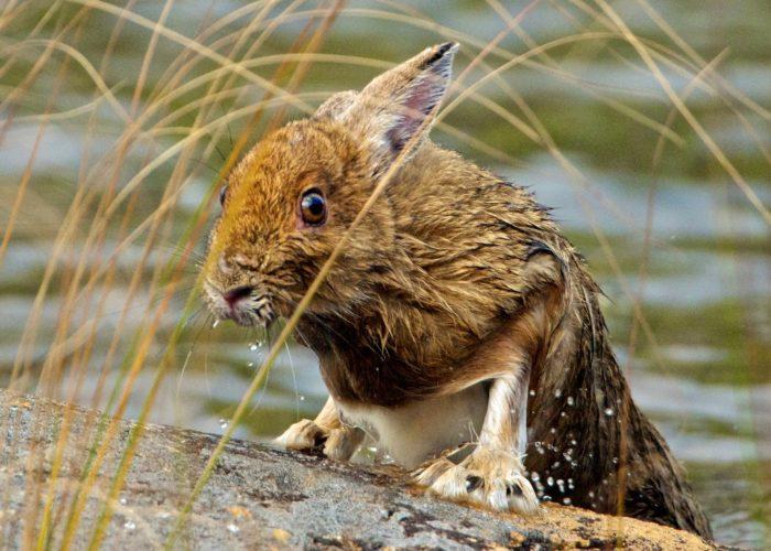 snowshoe-hare-gerard-monteux