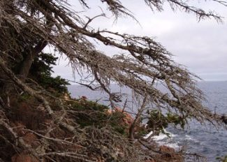 Bass Harbor pine tree