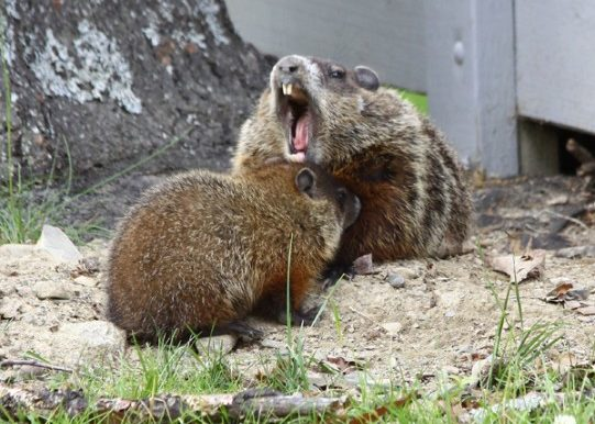 Groundhog and family