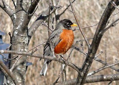 american-robin-wilton