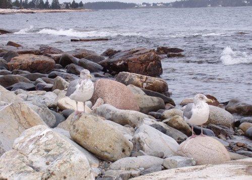 Gulls at Acadia