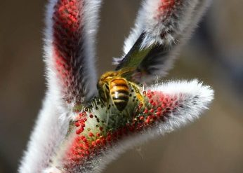 Honey bee on willow blossom