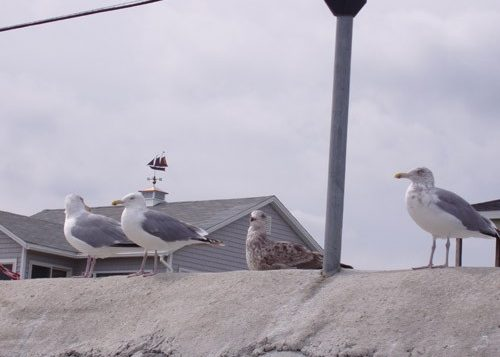 York Beach gulls