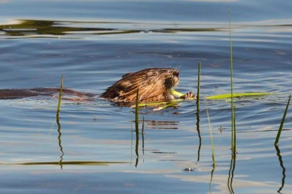 Dyer Long Pond beaver