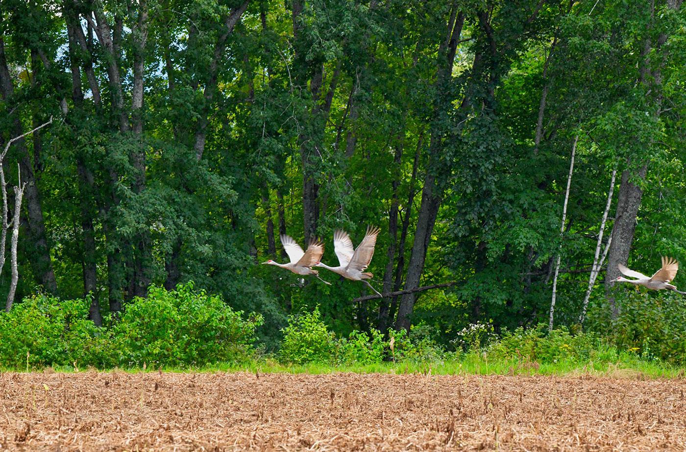 Sandhill Cranes in Fryeburg