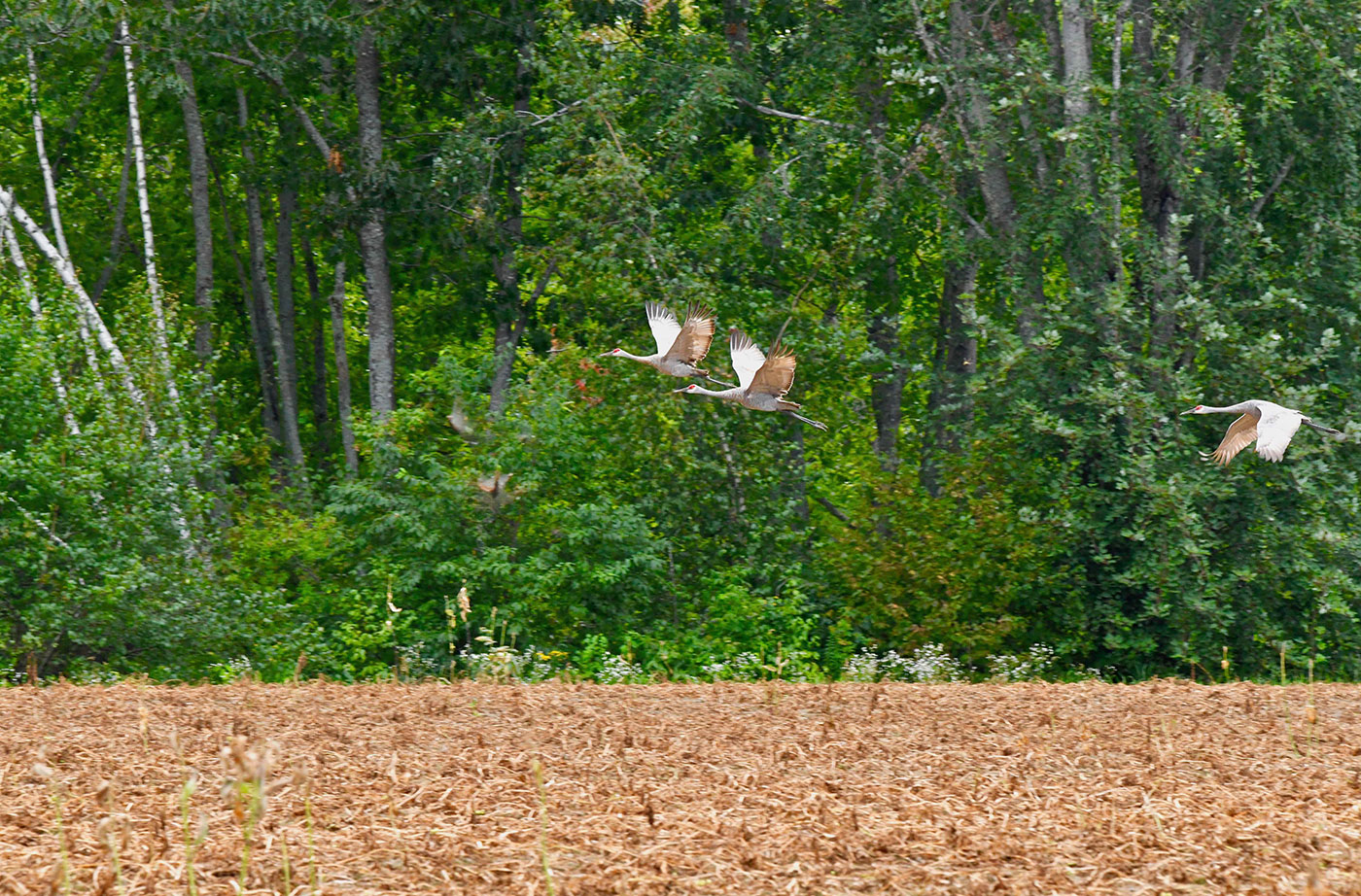 Sandhill-Cranes-in-flight-Tom-McLaughlin-2019