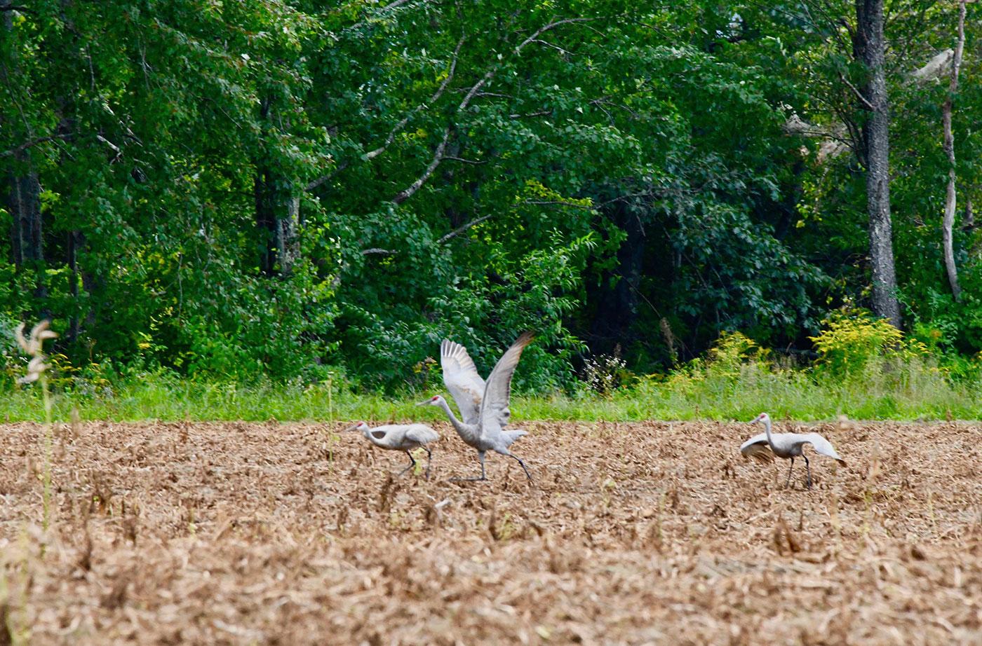 Sandhill Cranes in Fryeburg, Maine