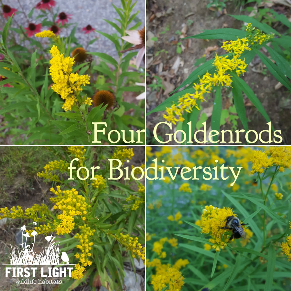 Goldenrods Top Plant For Boosting Biodiversity
