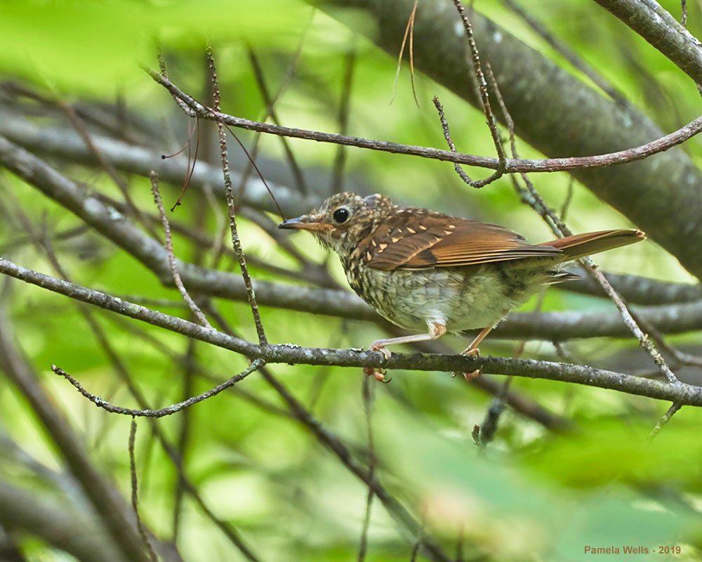 Juvenile Wood Thrush