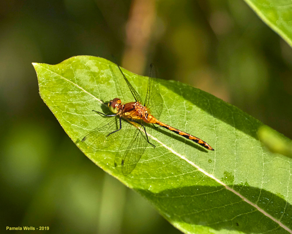 Orange Meadowhawk dragonfly