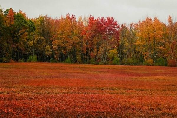 Blueberry fields in Cherryfield