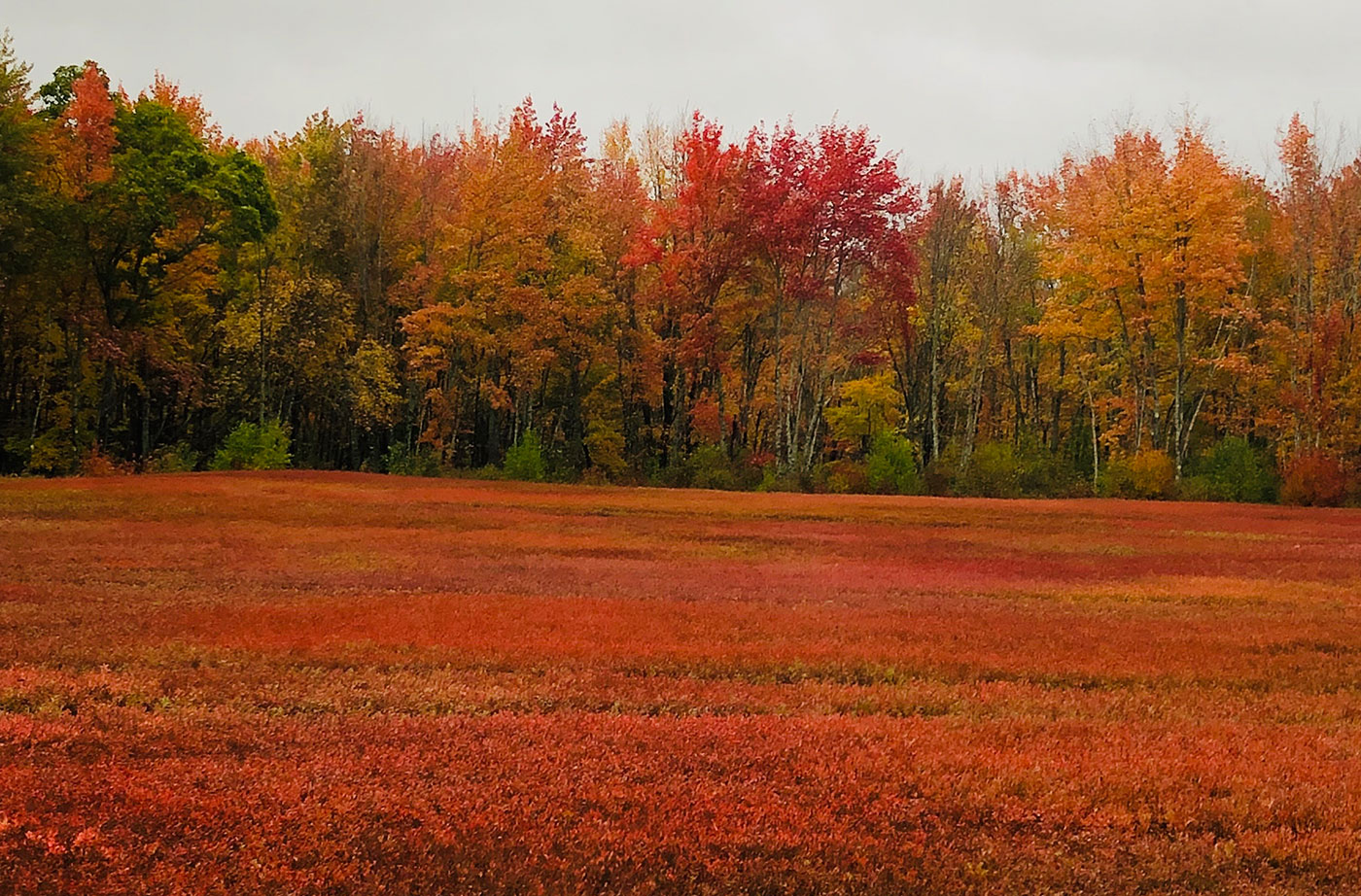 Blueberry fields in Cherryfield