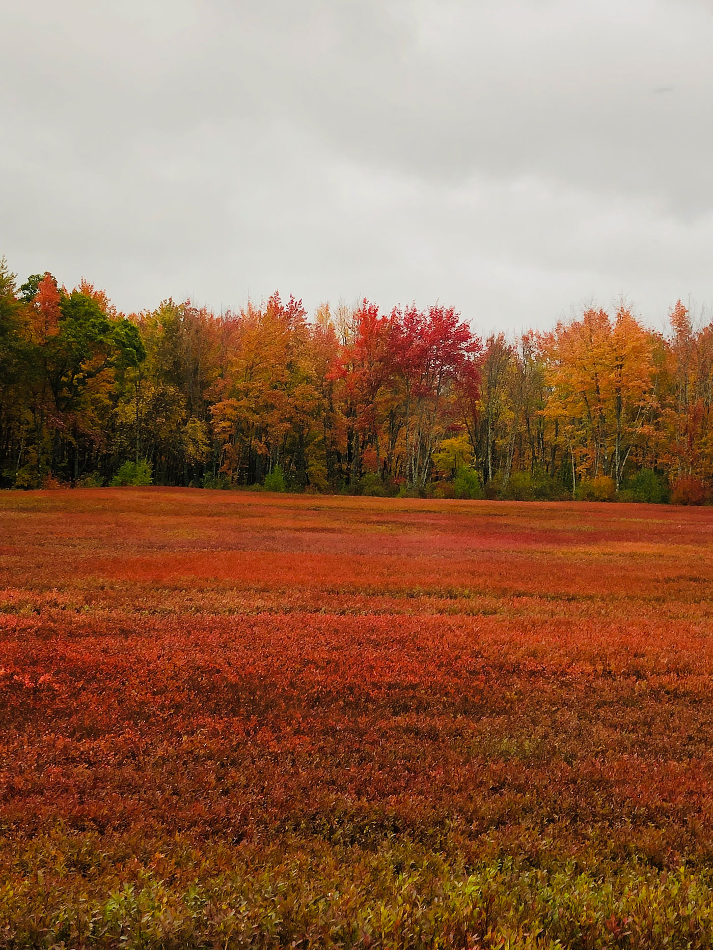Blueberry field in Cherryfield