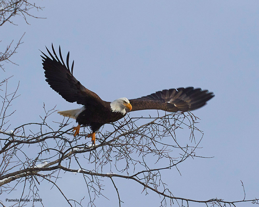 Bald Eagle over Penobscot by Pam Wells