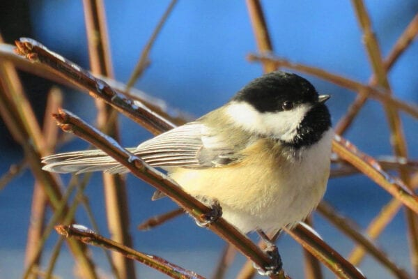 chickadee in South China, Maine