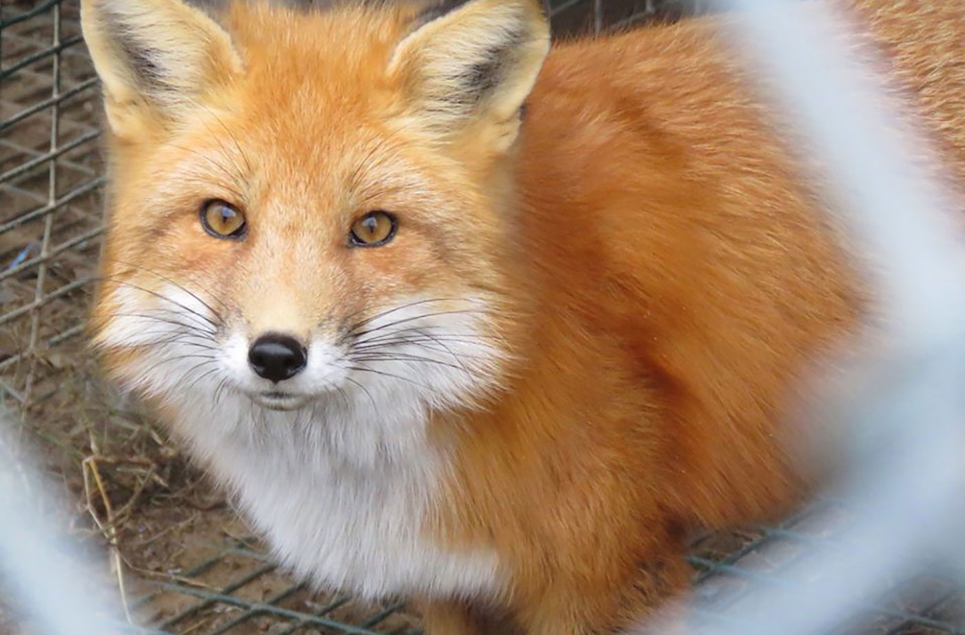 wildlife rehab of fox at Duck Pond Wildlife Center