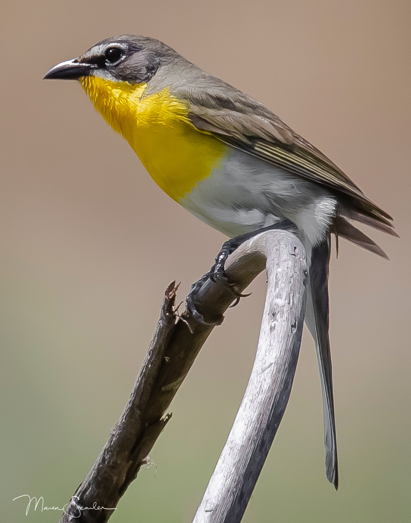 Yellowed-breasted Chat