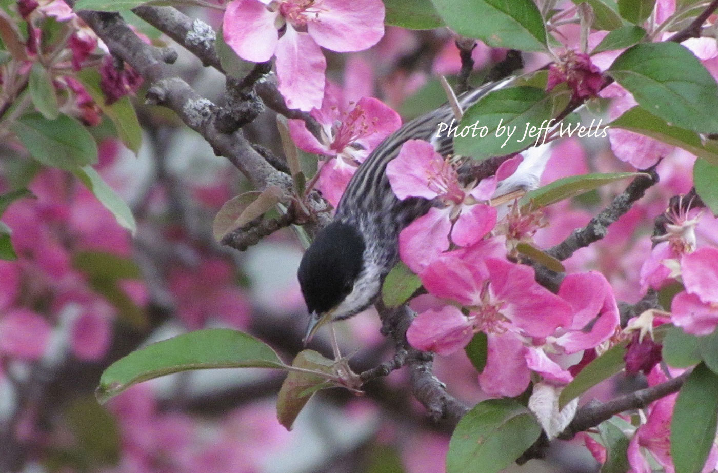 Blackpoll Warbler by Jeff Wells