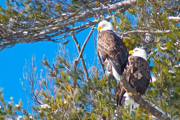 pair of Bald Eagles in tree