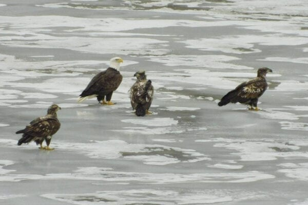 Bald Eagles on the Kennebec