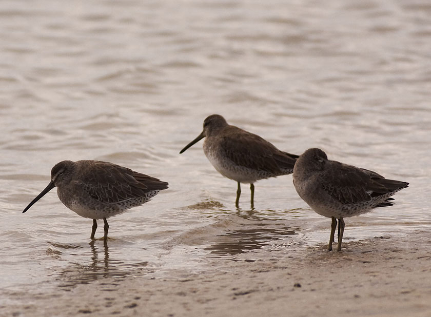 Short-billed Dowitchers by Kirk Rogers