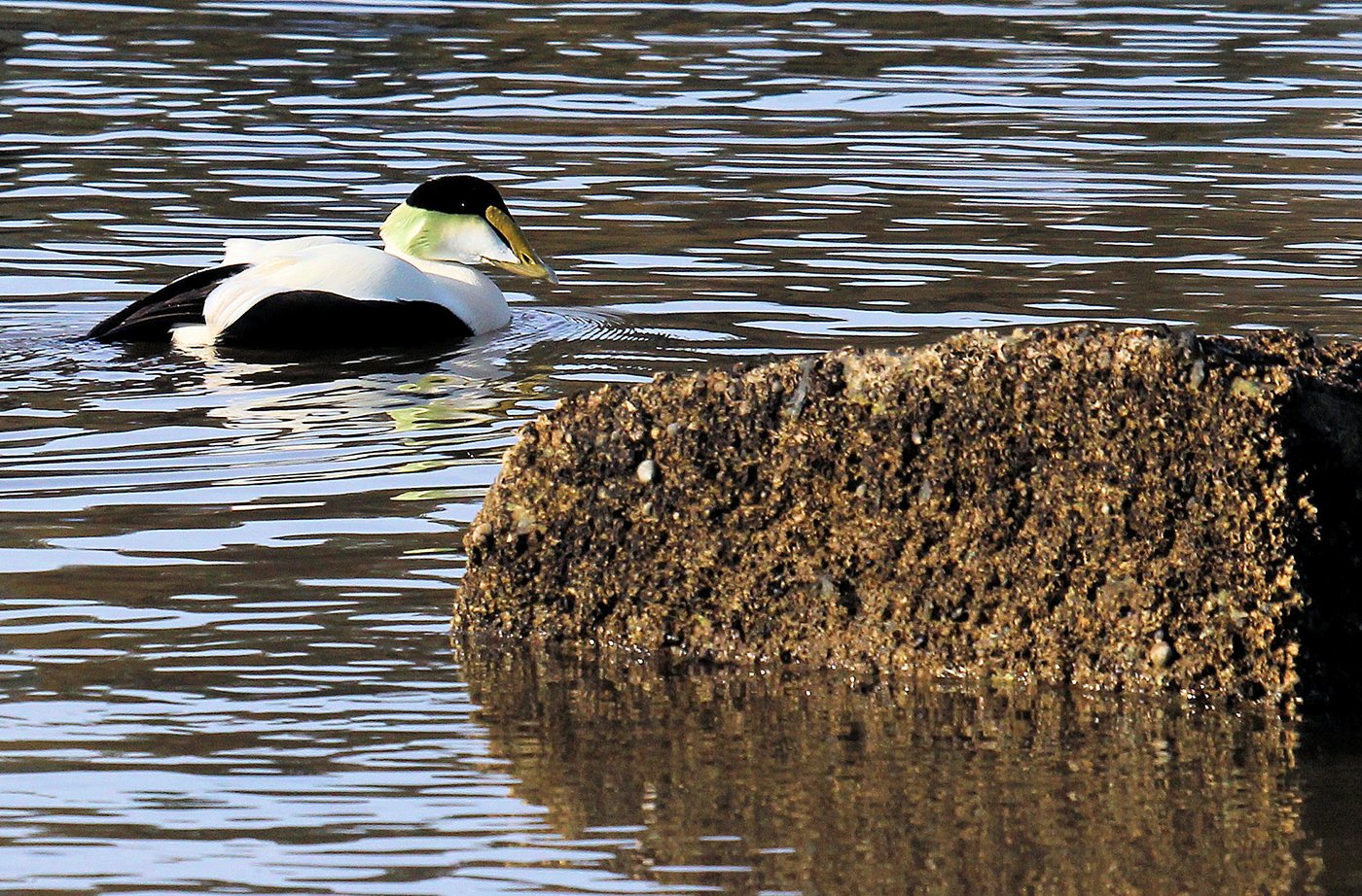 Common Eider by David Small