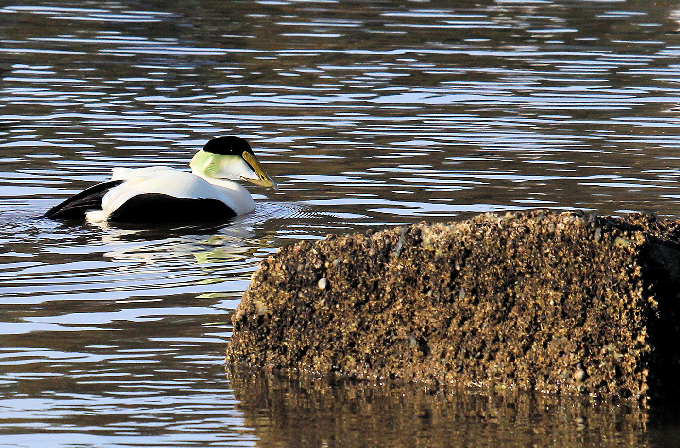 Common Eiders by Dave Small