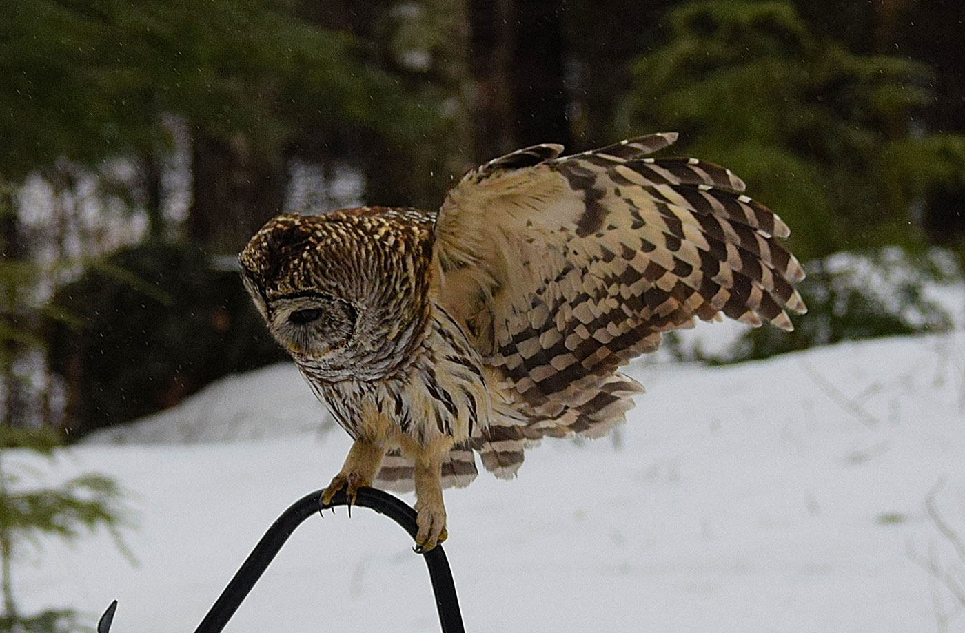 Barred Owl by Hal Winters