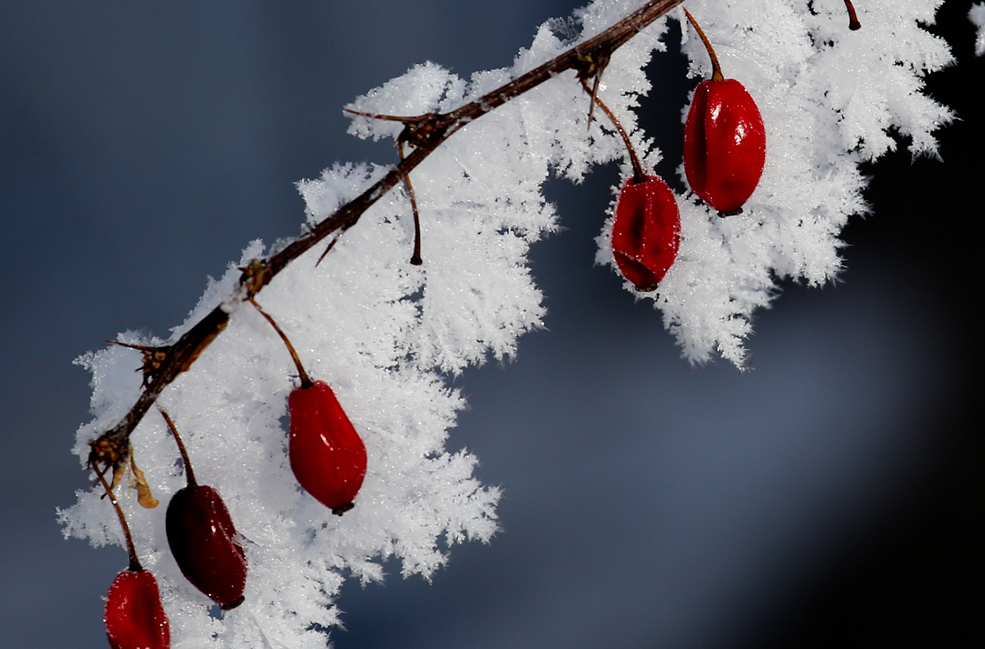 berries on branch in snow