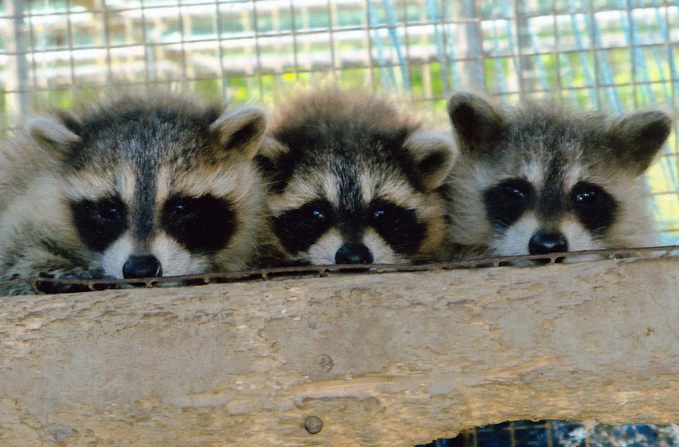 raccoons by Carleen Cote