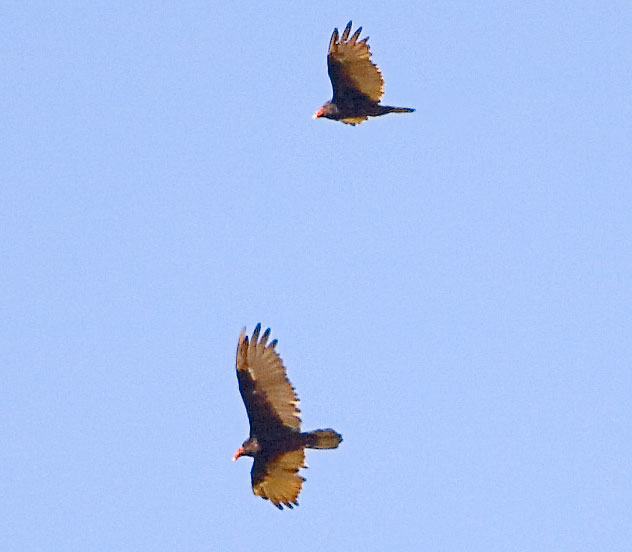 Turkey Vultures by Kirk Rogers