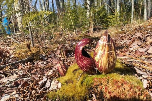 skunk cabbage in woods