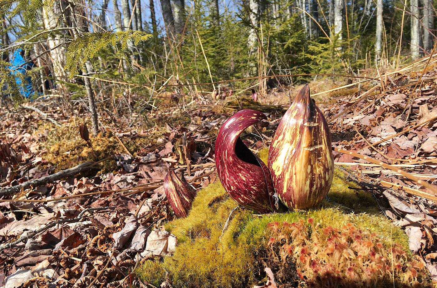 skunk cabbage in woods