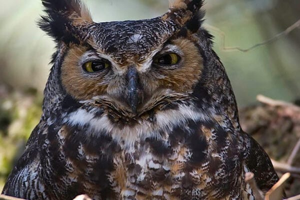 Great Horned Owl by Kirk Rogers