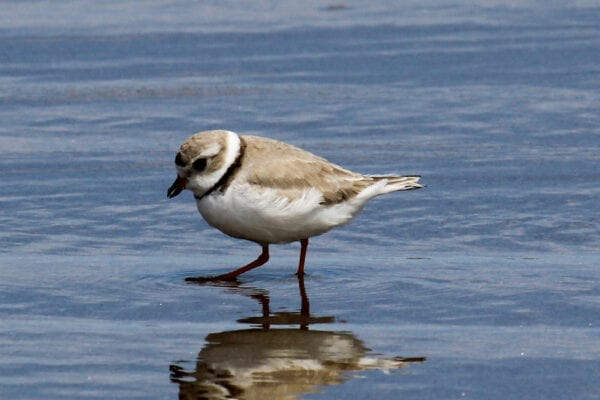 Piping Plover by David Small