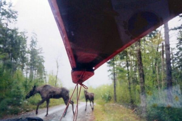 Moose crossing Golden Road
