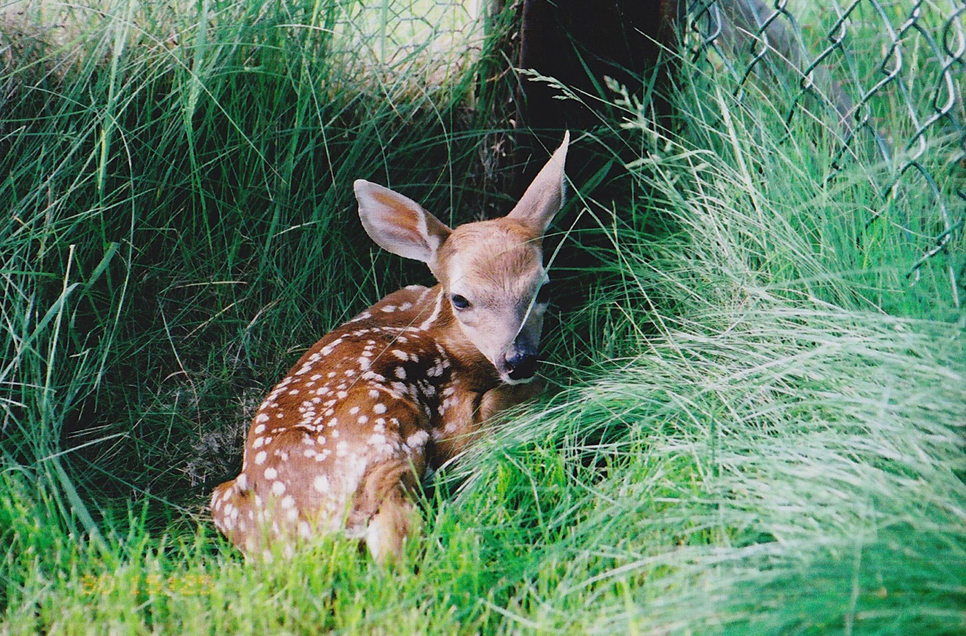 fawn at Duck Pond Wildlife Center