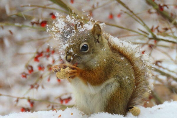 red squirrel eating nuts in snow