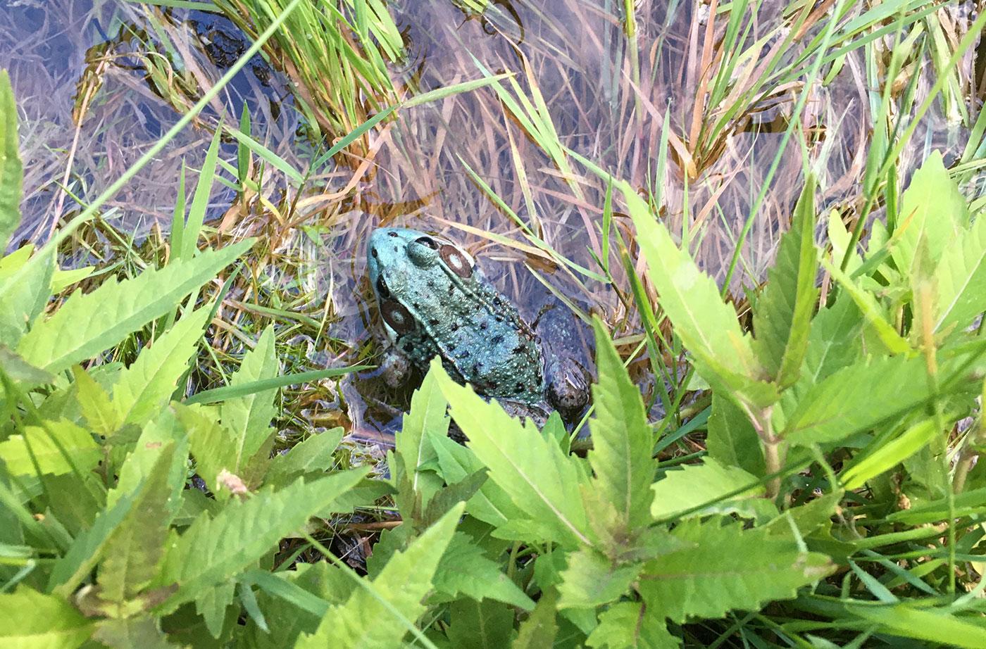 Frog in Bowdoinham