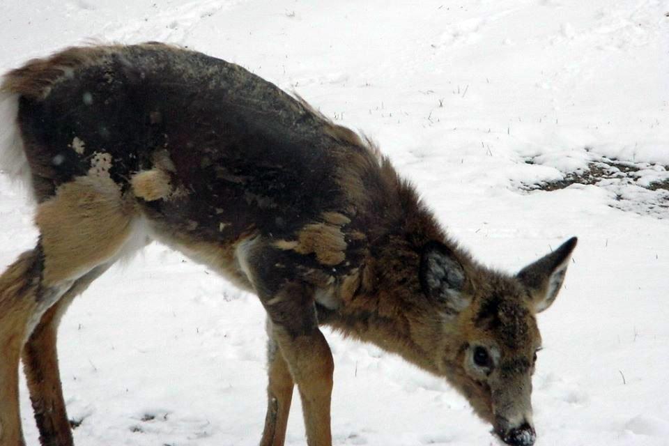deer with mange