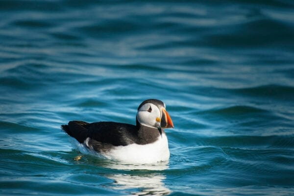 puffin floating in water