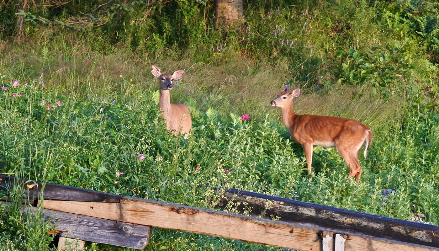 two deer in Tenants Harbor