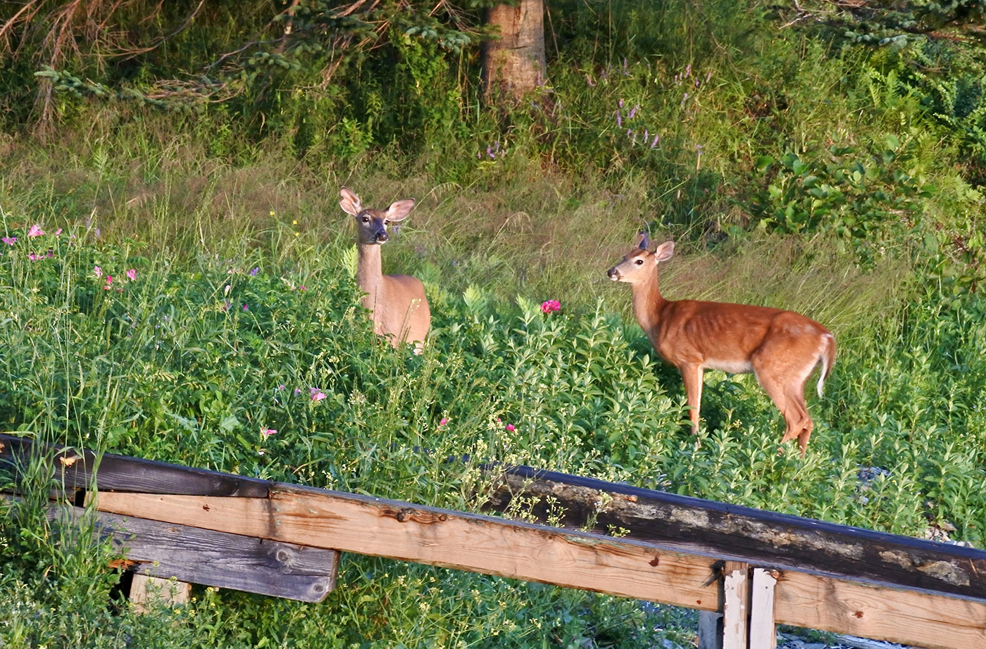 two deer in Tenants Harbor