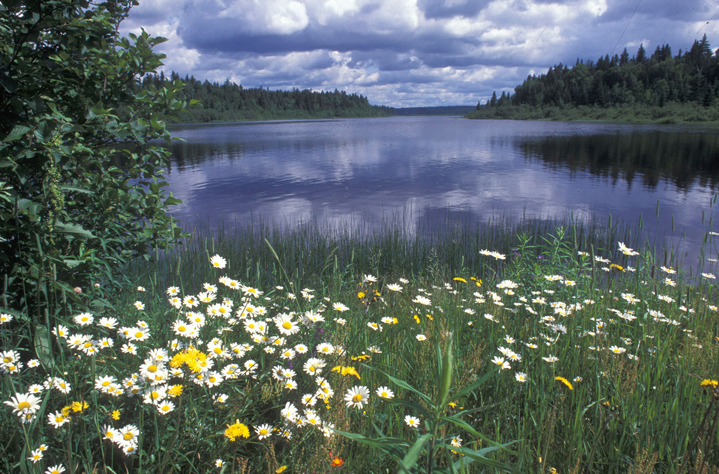 Daisies along Allagash Wilderness Waterway