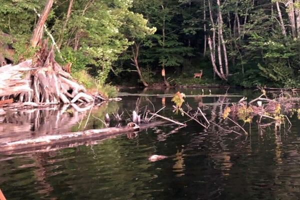 deer on Kennebec River bank